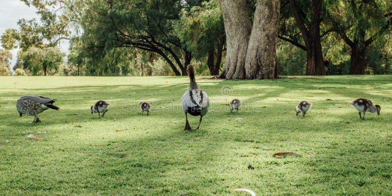 Австралийская семья jubata Chenonetta деревянной утки в королях Парке, Перте, WA, Австралии стоковые изображения rf