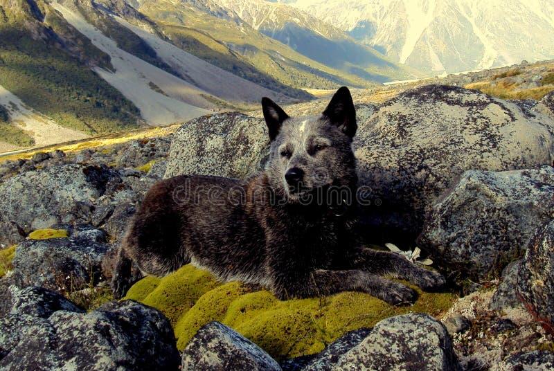 Австралийская собака скотин в Новой Зеландии стоковые изображения