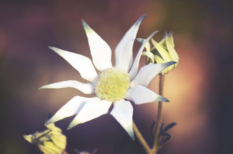 Австралийская фланель цветет helianthi Actinotus стоковое фото rf