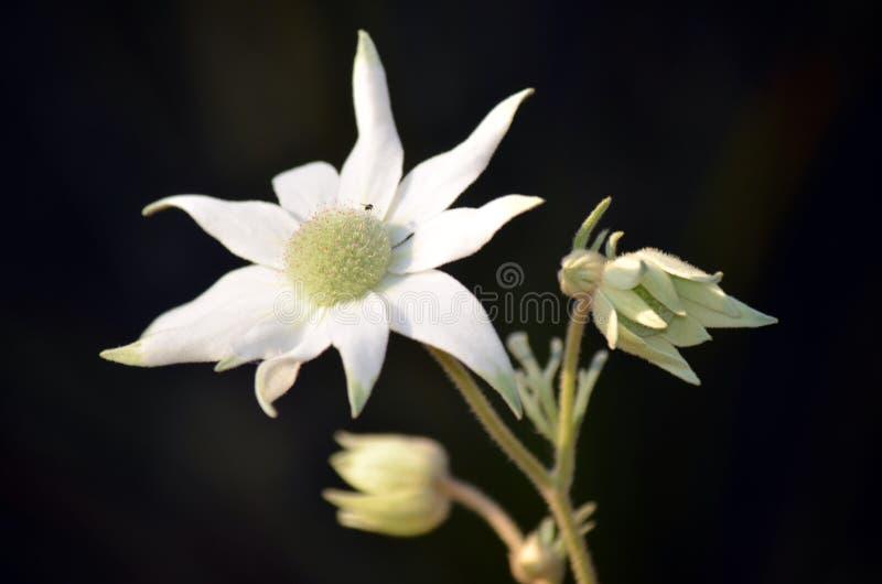 Австралийские цветки фланели стоковые изображения
