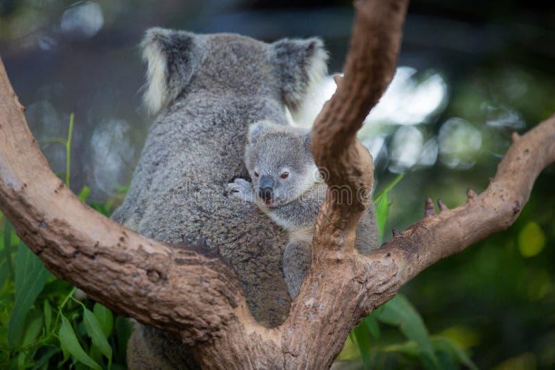 Австралийский медведь коалы с ее младенцем или joey в евкалипте или эвкалипте стоковое изображение rf