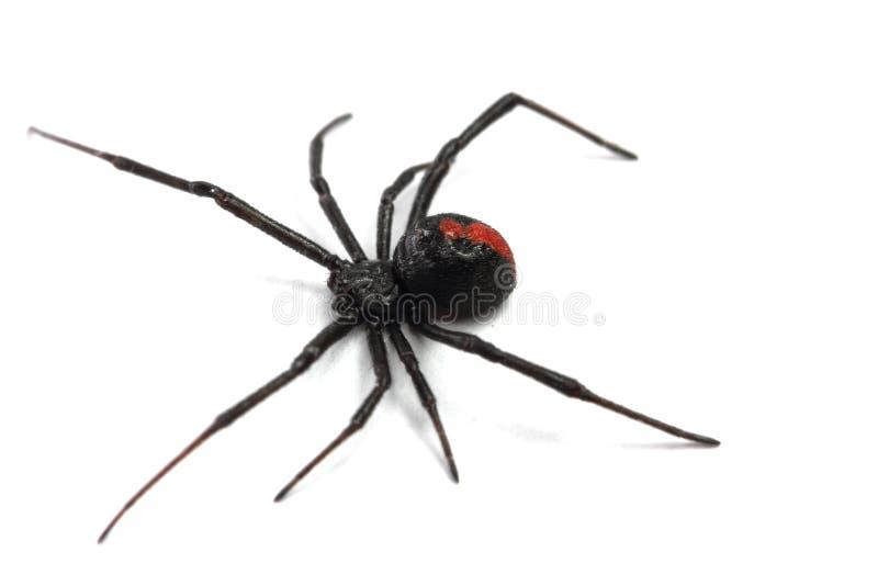 Австралийский паук redback стоковые изображения rf
