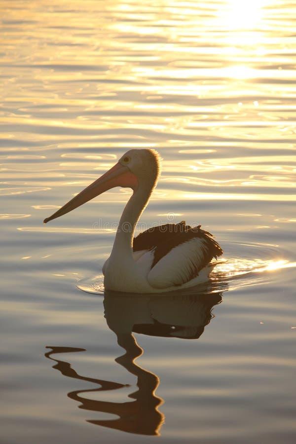 Австралийский пеликан на заходе солнца стоковые фотографии rf