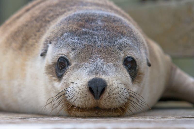 Австралийский щенок морсого льва стоковое фото