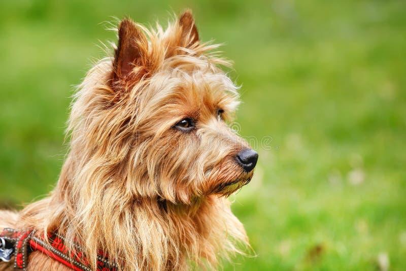 Download австралийский terrier стоковое изображение. изображение насчитывающей конец - 40582781