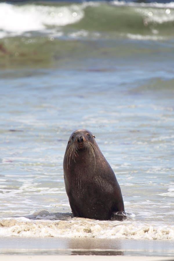 австралийское cinerea море neophoca льва стоковое изображение
