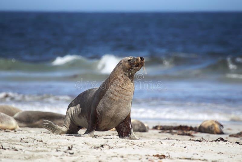 австралийское cinerea море neophoca льва стоковое фото rf