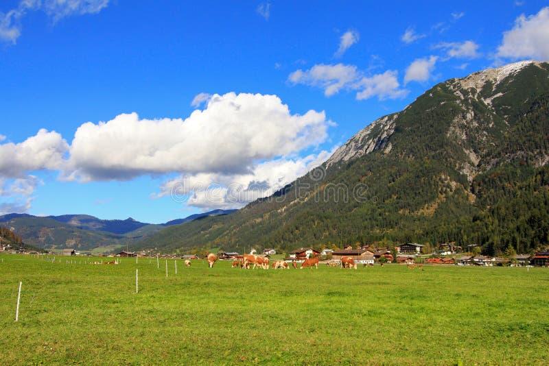 Австриец устрашает еду травы на долине Achenkirch стоковая фотография rf