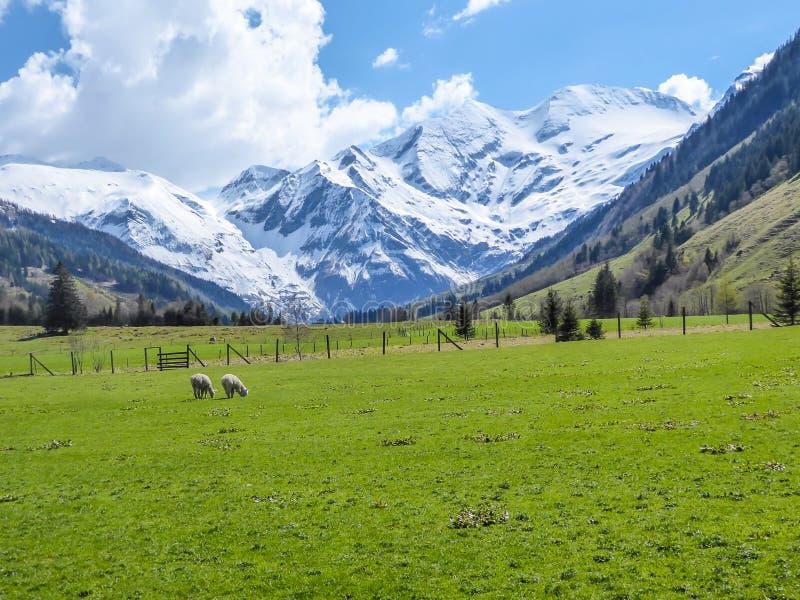 Австрия - высокогорный луг со снежными горами в задней части стоковое фото rf