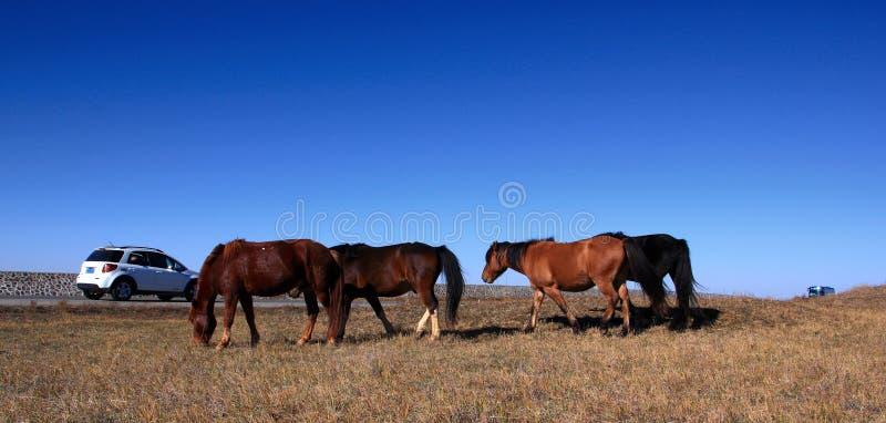Автомобиль встречал лошадей стоковые фото