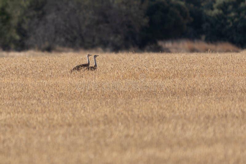 Авутарда, бастард спрятан в зерновом поле в Паленсии стоковые фото