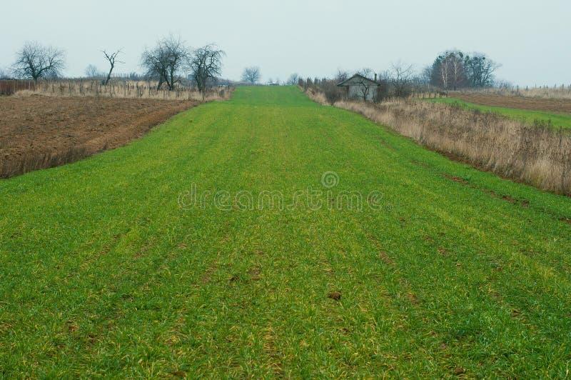 Аграрное зеленое пшеничное поле в предыдущей весне стоковые изображения rf