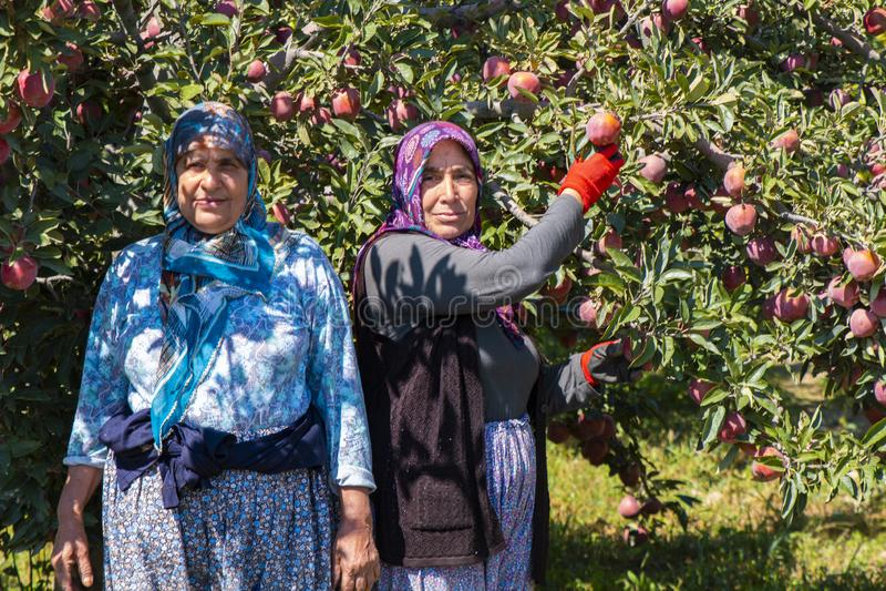 Аграрные женщины работника комплектуя яблоки от дерева стоковые фото