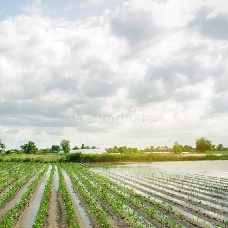 Аграрный край затронутый путем затоплять Затопленное поле Последствия дождя Земледелие и обрабатывать землю Стихийное бедствие и стоковое изображение