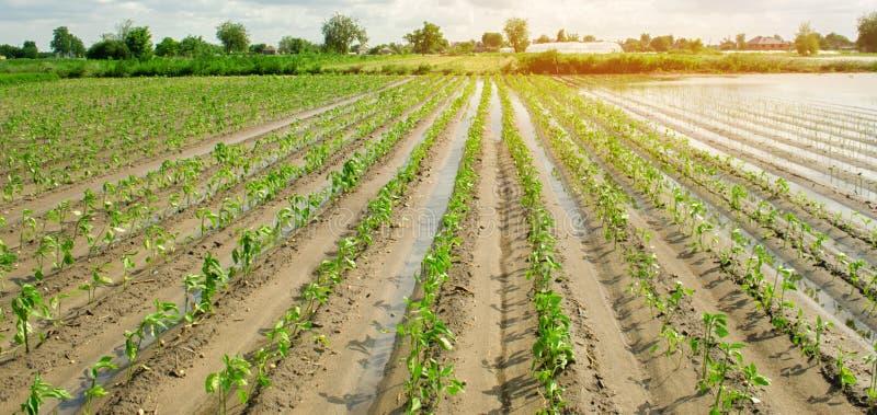 Аграрный край затронутый путем затоплять Затопленное поле Последствия дождя Земледелие и обрабатывать землю Стихийное бедствие и стоковое фото