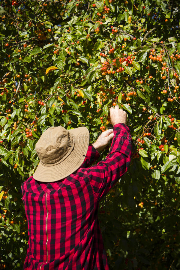 Аграрный человек фермера работника выбирая дерево Crabapple стоковые фото