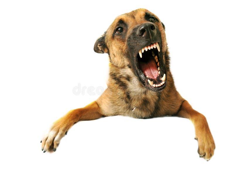 агрессивныйая собака стоковое фото