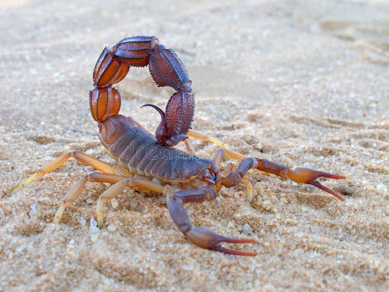 агрессивныйый скорпион стоковое изображение
