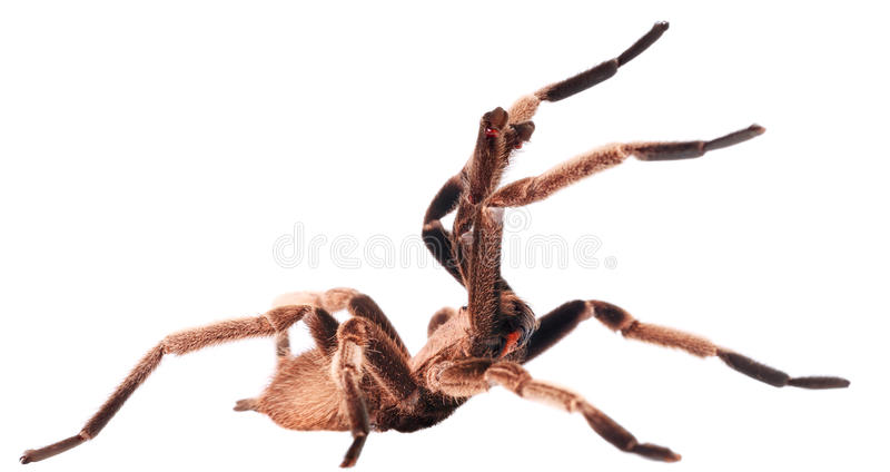 Агрессивный тарантул стоковая фотография