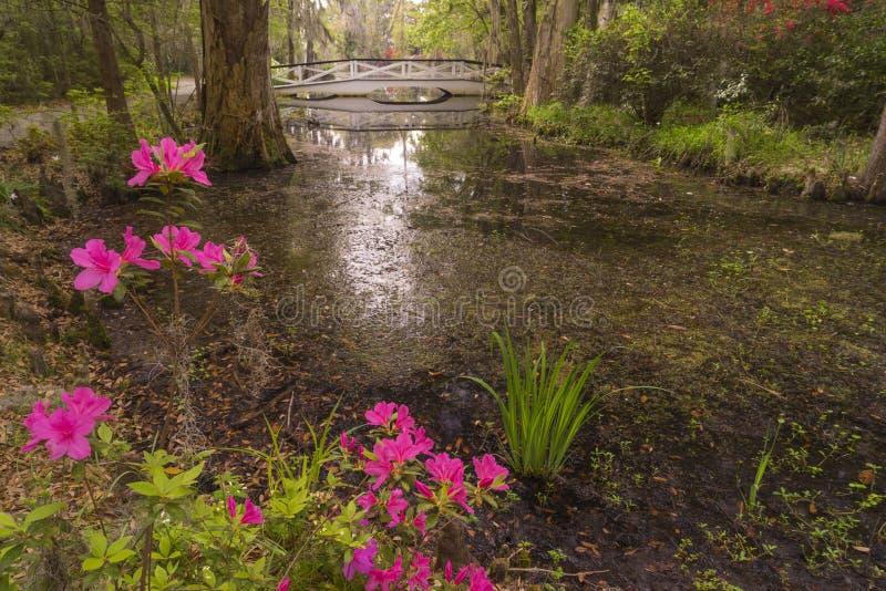 Азалии зацветая в саде плантации, около Чарлстона, SC стоковые фотографии rf
