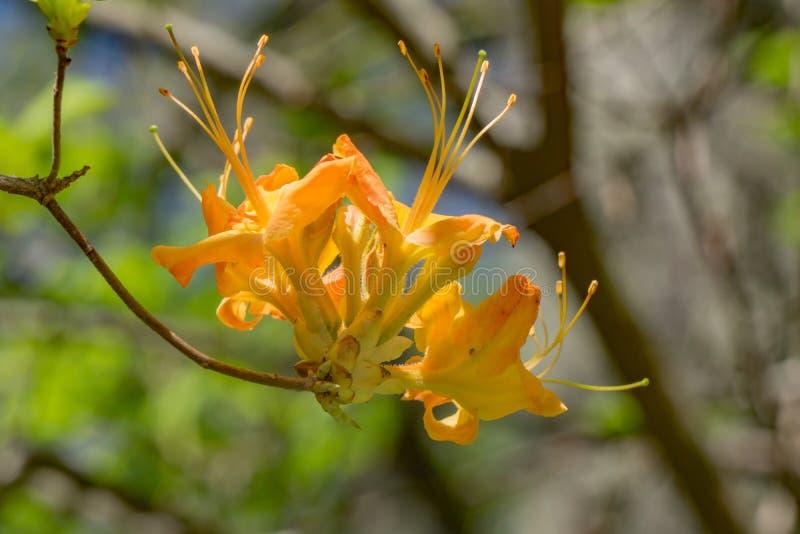 Азалия пламени - calendulaceum рододендрона стоковое изображение rf