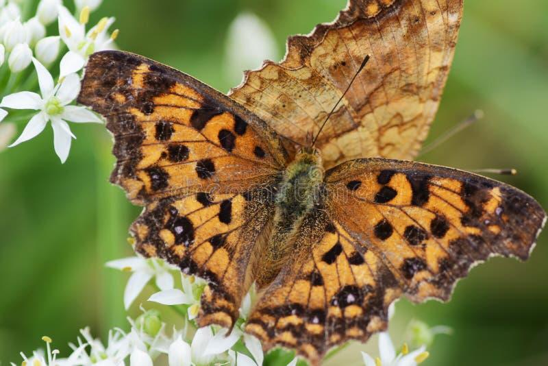 Азиатская бабочка запятой стоковое изображение rf
