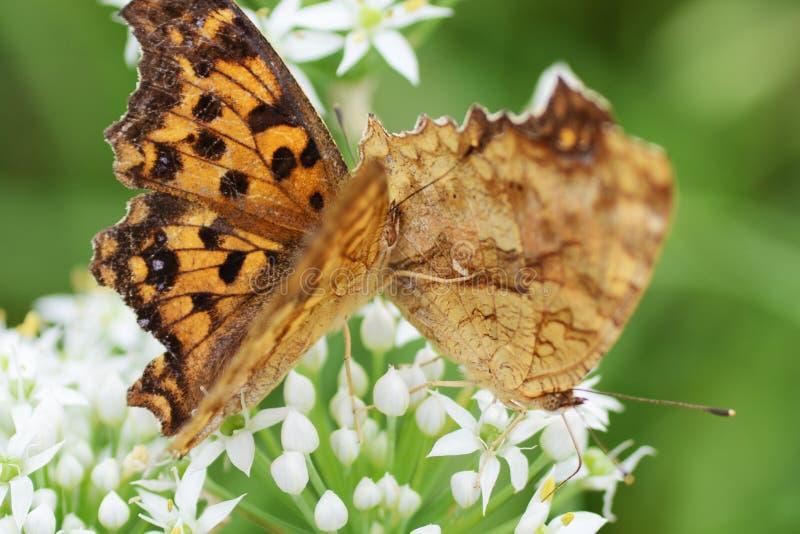 Азиатская бабочка запятой стоковое фото rf