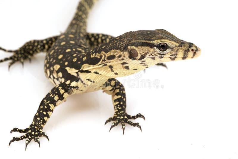 азиатская вода varanus salvator монитора ящерицы стоковые фото