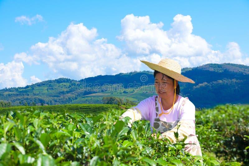 Азиатская женщина работает на плантации чая стоковое изображение rf
