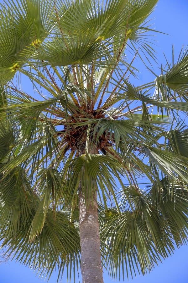 Азиатская ладонь пальмиры стоковое фото