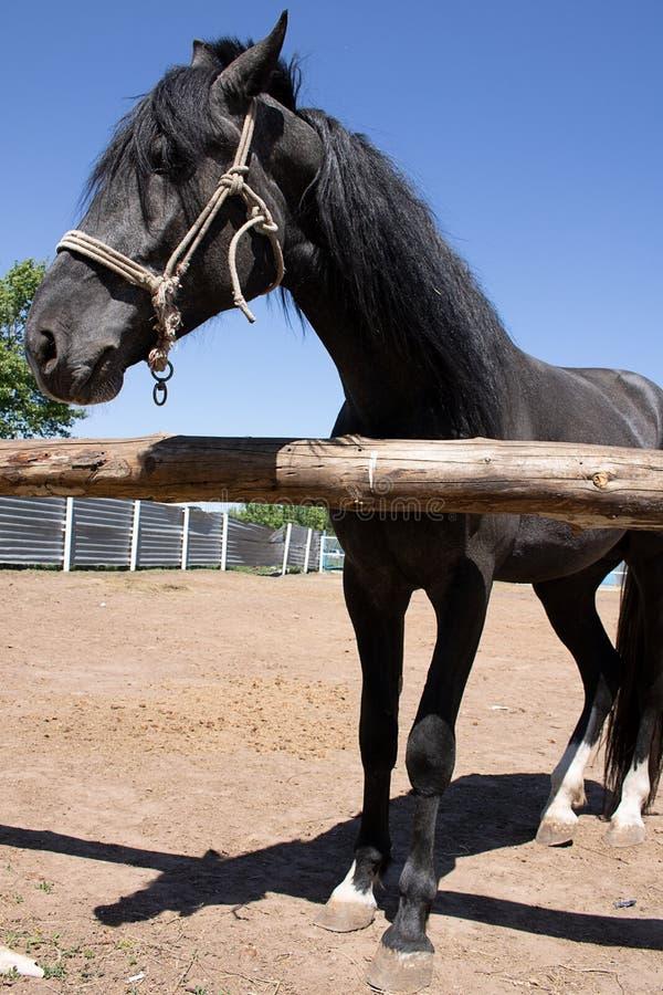 Азиатская лошадь с уздечкой и длинной гривой стоковая фотография rf
