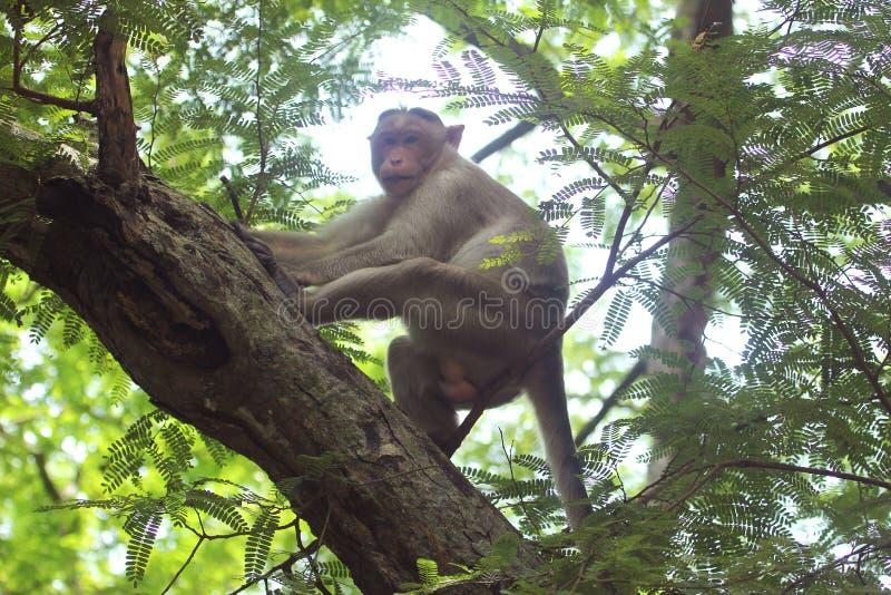 Азиатская обезьяна в индийском лесе стоковые фото