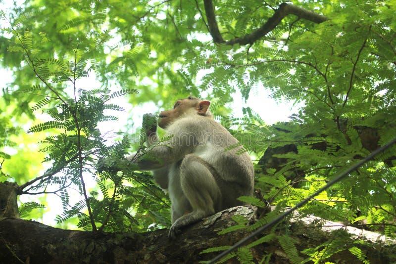 Азиатская обезьяна в индийском лесе стоковое изображение rf