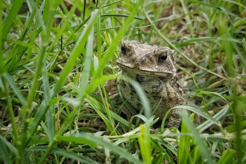 Азиатская общая жаба стоковая фотография rf