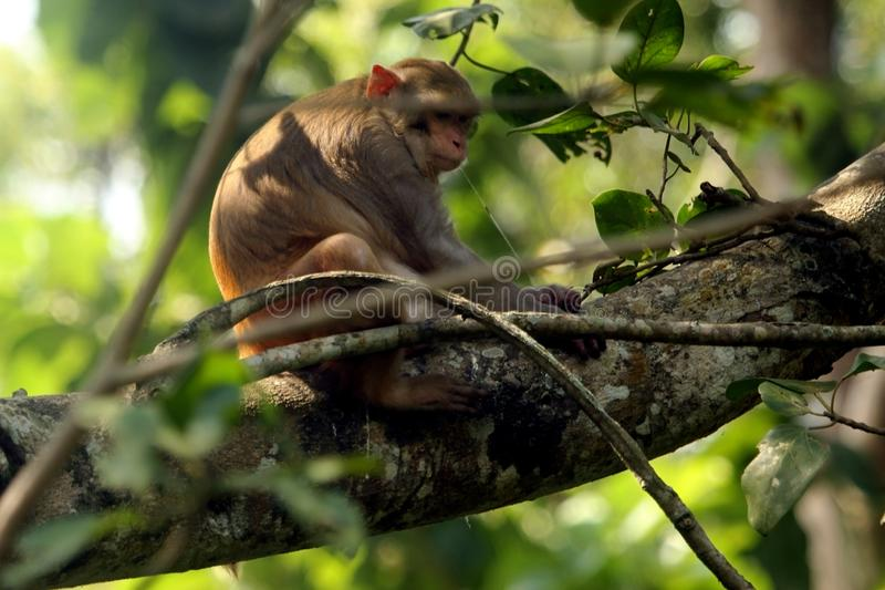 Азиатская общая обезьяна стоковое фото rf