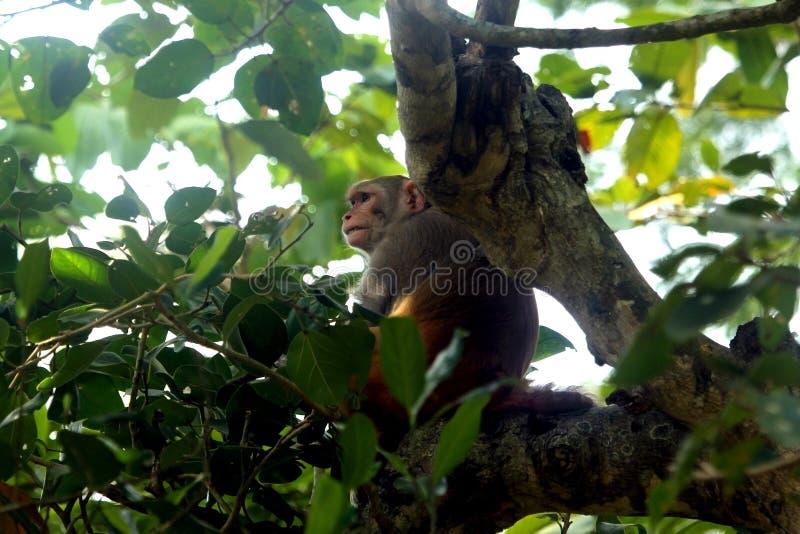 Азиатская общая обезьяна стоковое изображение