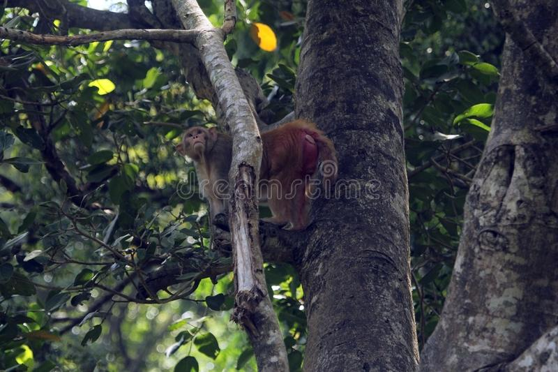 Азиатская общая обезьяна стоковое фото