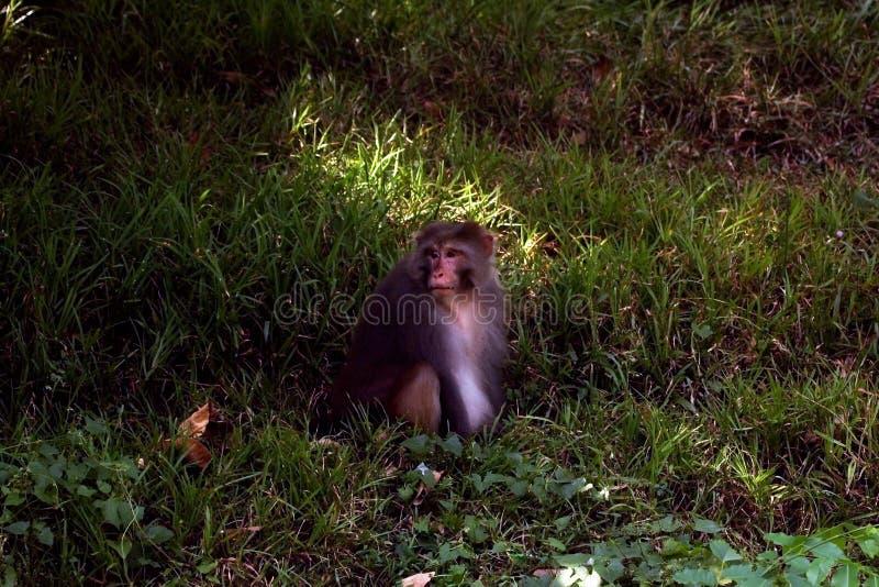 Азиатская общая обезьяна стоковые фото