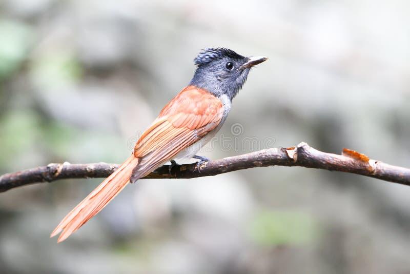 Азиатская птица мухоловки рая на ветви стоковые фотографии rf