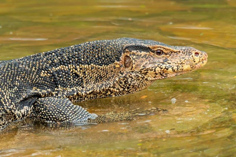 Азиатская ящерица монитора воды идя на мелководье стоковое фото rf