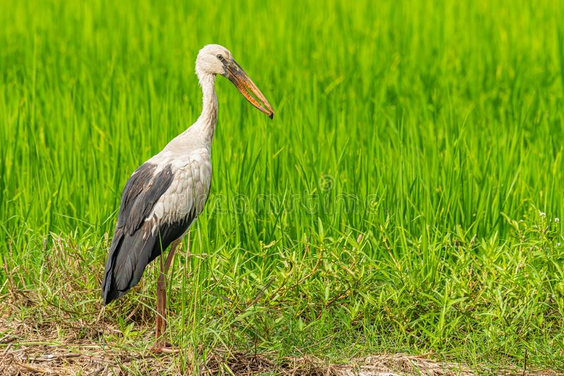 Азиатские аист openbill и улитка реки в своем счете с зелеными рисовыми полями в предпосылке стоковые фото