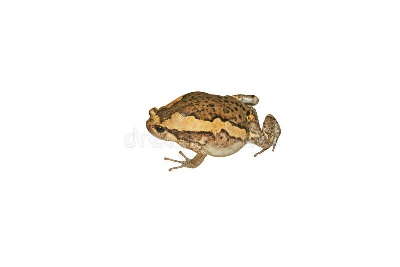Азиатские жабы narrowmouth, земноводное изолированные на белой предпосылке стоковые фотографии rf