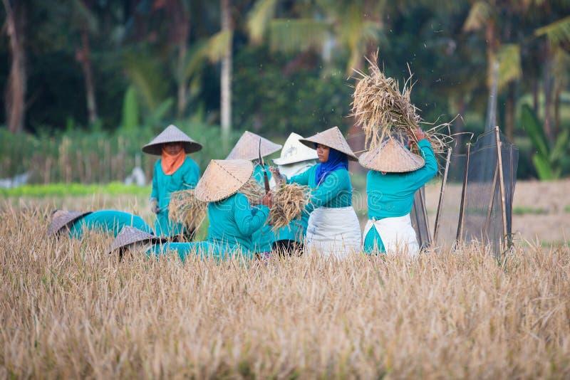 Азиатские женщины просеивают рис стоковое фото rf