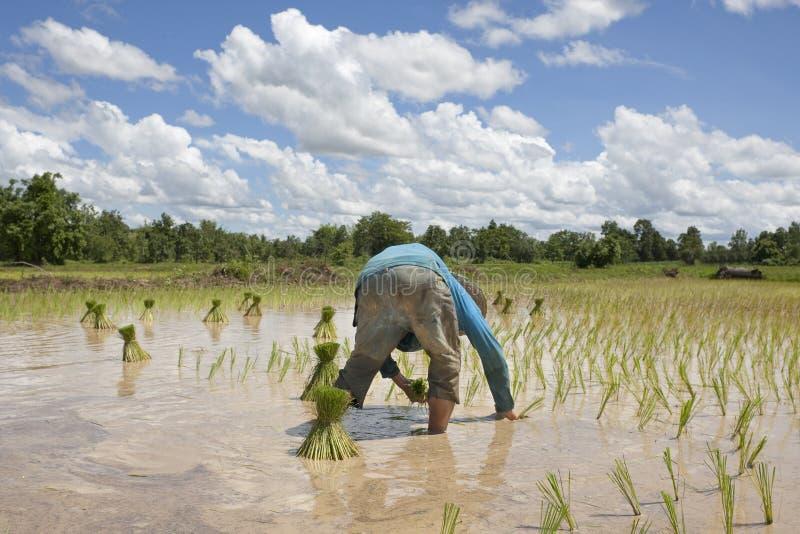 азиатские работы риса человека поля стоковая фотография rf