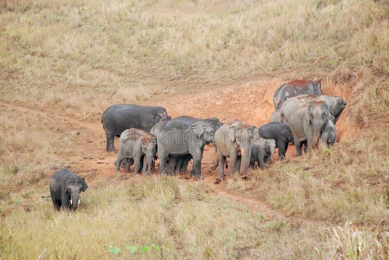 азиатские слоны табунят национальный парк yai khao стоковая фотография rf