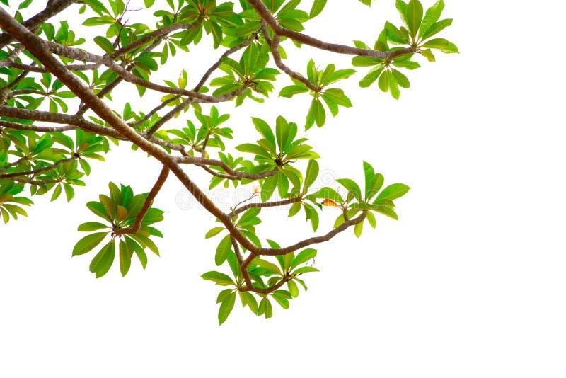 Азиатские тропические зеленые листья которые изолировали на белой предпосылке стоковые фото