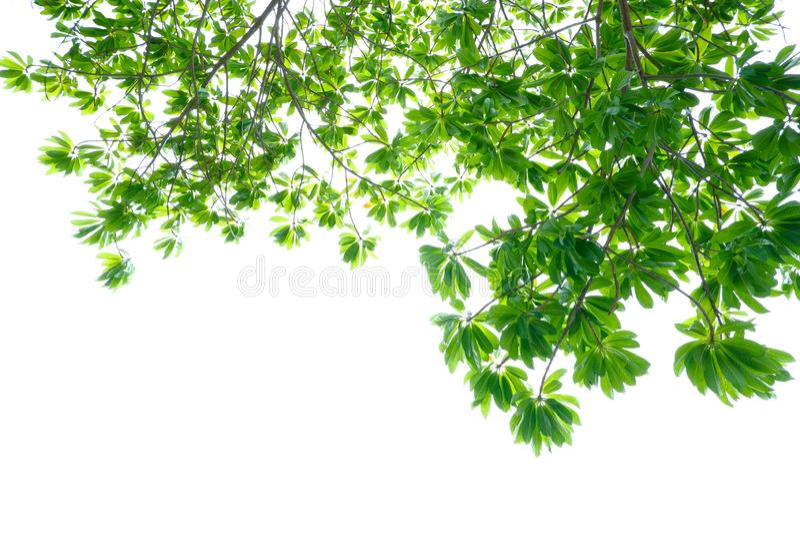 Азиатские тропические зеленые листья которые изолировали на белой предпосылке стоковые фотографии rf