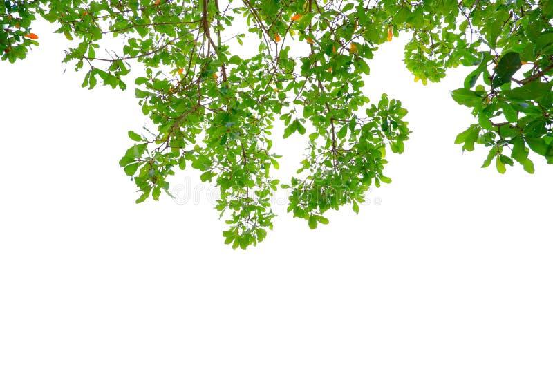 Азиатские тропические зеленые листья которые изолировали на белой предпосылке стоковое изображение rf