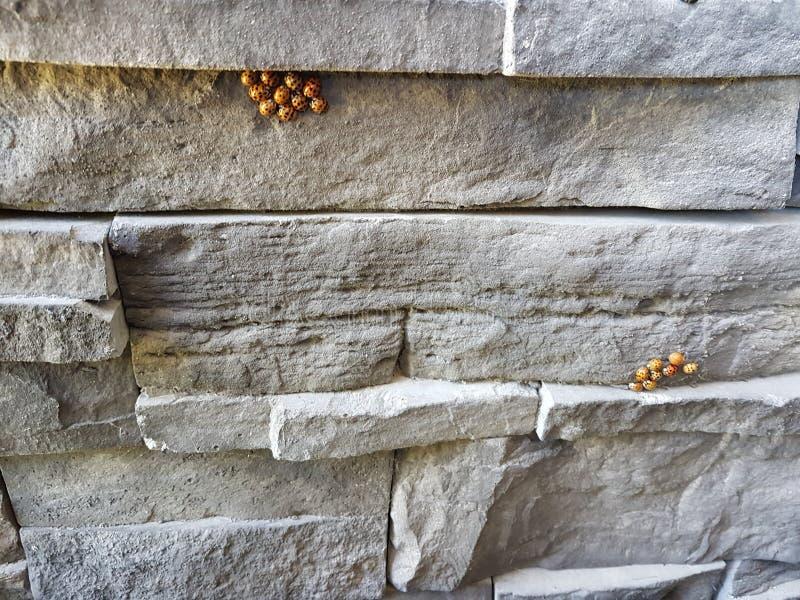 Азиатские ladybugs стоковая фотография rf