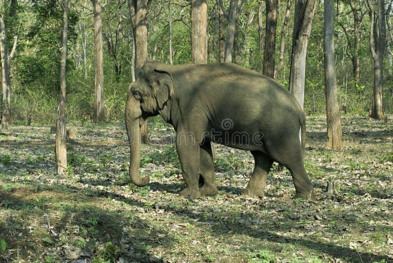 Азиатский бык Tuskless слона стоковое изображение rf